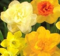 Daffodils As A Herbal Cure