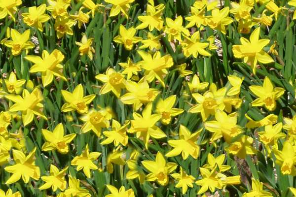Small yellow daffodils seamless repeating tile