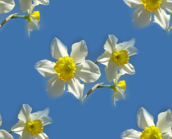 Daffodils blue sky seamless repeating background
