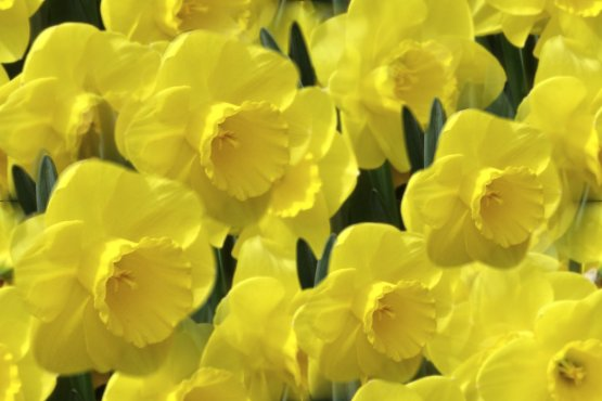 Yellow daffodils seamless repeating tile fill