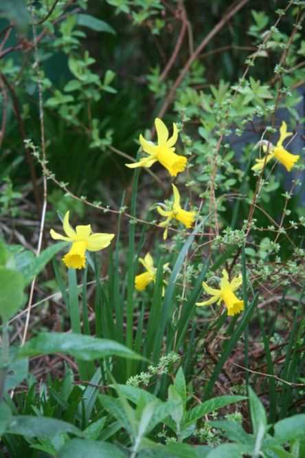 Little Wild Daffodils