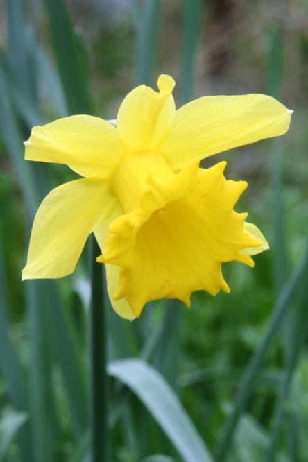 Portrait of a Daffodil - single daffodil picture